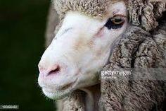 Risultati immagini per pecora merinos