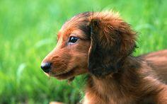 Cute Dachshund Puppy  #Doxie Darlin' ♥ LOVE