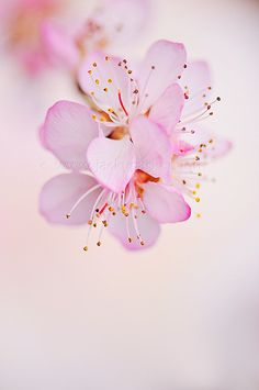 Black Cherry Plum by Jacky Parker Bach Flowers, Pretty In Pink, Beautiful Flowers, Spring Blossom, Blossom Flower, Cherry Blossom, Flower Cards, Spring Flowers, Planting Flowers