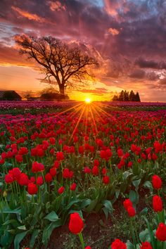 sundxwn:One Million Farewells by Don Lally Wooden Shoe Tulip Farm, Woodburn, Oregon