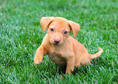golden retriever vizsla puppy mix