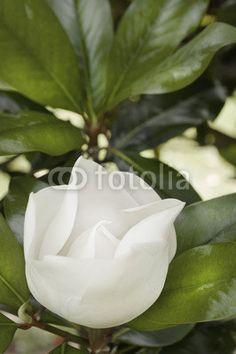 Please check my portfolio via @fotolia #whiteflower #magnolia #stock #photo