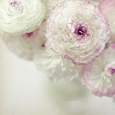 White & Pink Ruffled Ranuculus    Flowers