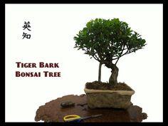 Tigerbark Bonsai Tre