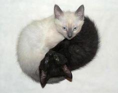 yin yang kittens like my cats bleach and clorox 2 Cute Kittens, Cats And Kittens, Yen Yang, Ying Y Yang, Animal Gato, Mundo Animal, Baby Animals, Funny Animals, Cute Animals