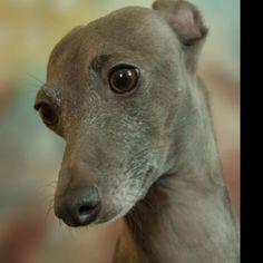 Italian Greyhound Looks like our Ozzy!