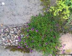 A classic arrangement planting low growing Thyme around paving Thyme Growing, Growing Mint, Growing Seeds, Growing Plants, Dry Garden, Garden Plants, Planting, Gardening, Drought Resistant Plants