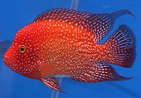 Texas Cichlid - freshwater