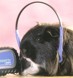 I hope this guinea pig is listening responsibly.