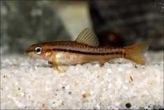 Live Bearers Careful Spawning Mops X 3 For Egg Layers Killifish