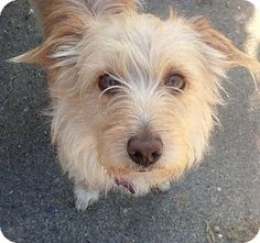 Surrey, BC - Terrier (Unknown Type, Small) Mix. Meet Walker, a dog for adoption. http://www.adoptapet.com/pet/13119412-surrey-british-columbia-terrier-unknown-type-small-mix