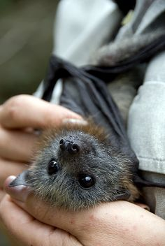 This is 6 week old fruit bat having his stomach rubbed by her carer Rochelle. by urbanmenagerie on flickr.com
