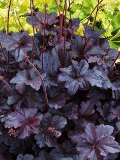 Make a statement in your garden with the dazzling foliage color, texture and shapes Heuchera perennials provide. Shop for your plants from Bluestone Perennials. Black Garden, Heuchera, Plants, Shrubs, White Flower Farm, Midnight Garden, Gothic Garden, Shade Plants, Shade Perennials