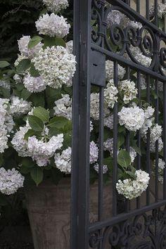 Gate with Hydrangea Beautiful Gardens, Beautiful Flowers, Dream Garden, Home And Garden, Hortensia Hydrangea, Ivy House, White Gardens, Henri Matisse, Garden Gates