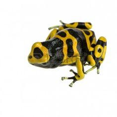 Yellow And Black Poison Dart Frog In Front Of A White Background ...