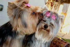 Sweet Yorkie kisses!