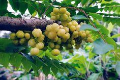 oooh how i love this fruit Belize Gooseberry (AKA Sapra)