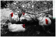 Hen Picture in black-white-red
