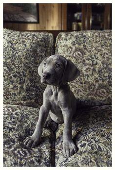 Weimaraner Pup ~ Classic Look Weimaraner, Cute Puppies, Cute Dogs, Dogs And Puppies, Doggies, Baby Animals, Funny Animals, Cute Animals, Beautiful Dogs