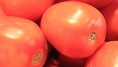 tomateiro (Solanum lycopersicum)