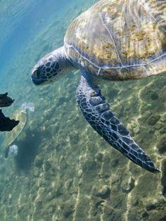 Swimming with the Turtles, Satoalepai, Savaii, Western Samoa Photographic Print by Douglas Peebles at Art.com
