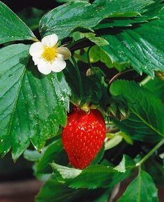 10 hlavných bodov pre úspešné pestovanie jahôd