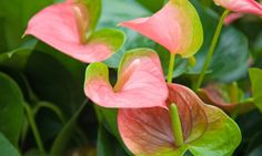 Flor de flamenco o anturio rosa