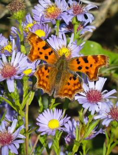 Comma butterfly on the trans Pennine trail near Conisbrough