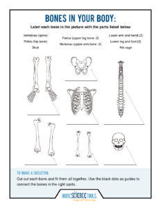 HST's skeleton projects teach elementary students about their bodies--from the inside! The projects show the wonders of our bones, joints, and spine. Cool Skeleton, Skeleton Model, Human Skeleton, Coloring Sheets For Kids, Coloring Pages, Science Projects, Science Experiments, Learning Tools, Kids Learning