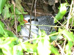 Red-billed Tropicbird - Phaethon aethereus, on its nest   Little Tobago