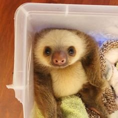An adorable video of baby sloths being fed. The presenter even gets sloth kisses Baby Sloth Pictures, Pictures Of Sloths, Animal Pictures, Cute Funny Animals, Cute Baby Animals, Animals And Pets, Cute Baby Sloths, Cute Sloth, Very Cute Baby