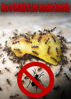 Many chemical ant killers often prove ineffective when it comes to getting rid of ants so finding the right natural ant deterrent can be a truly hard task! #Ants