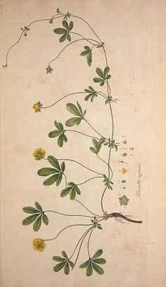 Free vintage botanical printable raspberry from old for Botanical tattoo london