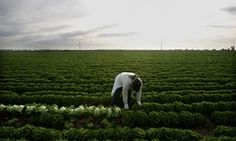 A farm worker harvests lettuce in a field near Calexico, California Calexico California, How To Harvest Lettuce, Us Foods, Food Waste, Fruit And Veg, Ph, Fruits And Veggies