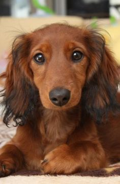 Long Haired Dachshund The very image of my beloved Fritzie. Dachshund Breed, Dachshund Funny, Dachshund Love, Cute Puppies, Cute Dogs, Dogs And Puppies, Setter Puppies, Miniature Dachshunds, Most Popular Dog Breeds