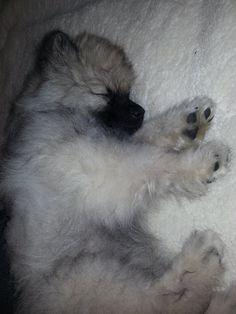 Keeshond puppy preciously sleeping