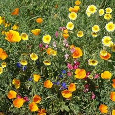This mix contains annuals and perennials that are native to the southwestern United States. This area includes Arizona, southern California, southern Nevada and New Mexico. Use for elevations below feet. For higher elevations, see the Mountain Native Mix. Forest Garden, Autumn Garden, Dead Of Summer, Indoor Flowering Plants, California Poppy, Southern California, Urban Farmer, Popular Flowers, Clay Soil