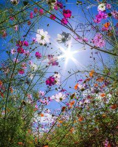 Cosmos and sunshine 💛 - Blumenwunder - Flowers Amazing Flowers, Wild Flowers, Beautiful Flowers, Spring Flowers, Flowers Pics, Beautiful Photos Of Nature, Cosmos Flowers, Flower Aesthetic, Nature Wallpaper