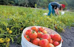 "Adam Mussell harvests dry-farmed tomatoes at Two Dog Farm on Monday (Shmuel Thaler/Sentinel) from ""Matt Landi, County Bounty: Dry-farmed tomatoes are late to arrive but loaded with flavor"" on www.santacruzsentinel.com"