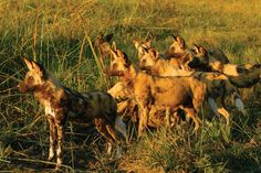 Green season is a go for budding shutterbugs. #photography #wilddogs #Africa
