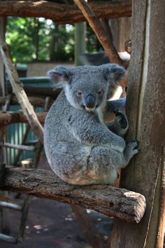 koala sanctuary, Brisbane #travel #brisband #australia @Connie Hamon Brzowski Hamon Brzowski Van Leuvan