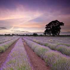 I'd love to be there right now... smelling the lavender and hoping for a spot of peace and quietness.