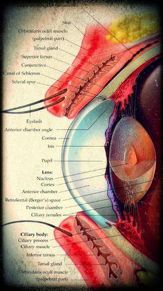 Medical and Health Science: Eye Anatomy Medical Students, Medical School, Nursing Students, Optometry School, Eye Anatomy, Body Anatomy, Medical Coding, Medical Science, Medical Anatomy