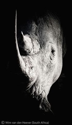 White Rhino, just after charging. Wim van den Heever (South Africa). Sabi Sands Game Reserve.