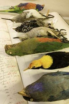 Bird specimens