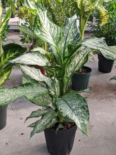 Dumb Cane Care: How to Care for Dieffenbachia Houseplants Peperomia Plant, Pothos Plant, Dumb Cane Plant, Zz Plant, Lower Lights, Light Water, Plant Lighting, Fiddle Leaf Fig, Yellow Leaves
