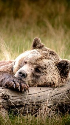 Animal/Bear Wallpaper ID: 728800 - Mobile Abyss Nature Animals, Animals And Pets, Baby Animals, Funny Animals, Cute Animals, Baby Pandas, Wild Animals, Bear Pictures, Animal Pictures