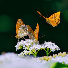 Haz click aquí para darnos un 'Me Gusta' en Facebook. ¡Gracias! Ver más fotos de mariposas | Compartir en Twitter | Compartir en Facebook