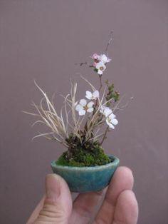 盆栽:春は急ぎ足 |春嘉の盆栽工房
