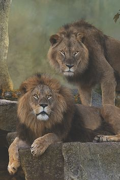 "Two Lion Brothers : Benny & Max - my Levi's absolute favourite animal - ""the daddy lion""  Ax"